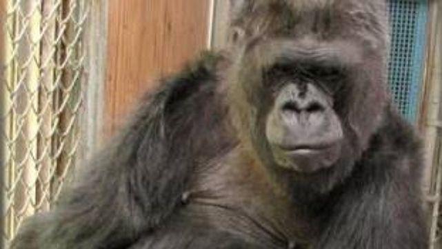 Murió Koko, la gorila que