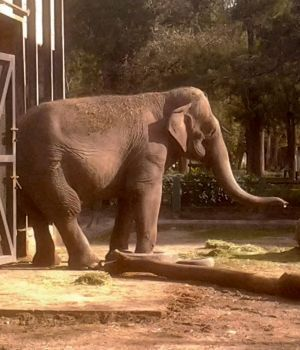 Para llorar: la triste historia de la elefanta Pelusa