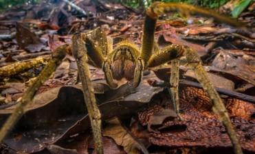 ¿El reemplazo para el Viagra? Se descubre que el veneno de araña puede ser incluso mejor