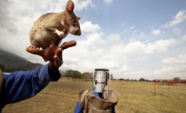 Ratas gigantes detectan minas antipersonas en Mozambique