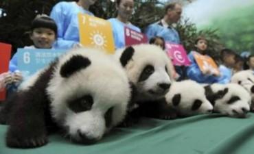 Récord de nacimientos de osos pandas sorprende a China