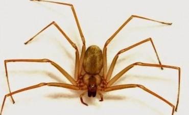 Una mujer murió por una picadura de araña parda en Neuquén