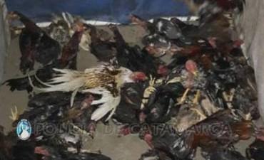 Aprehendidos y demorados por en una riña de gallos en la Capital