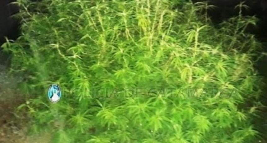 Buscaban elementos robados y encontraron plantas de marihuana