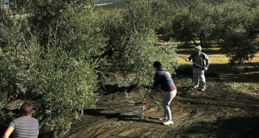Olivícolas con problemas para cubrir los costos de producción