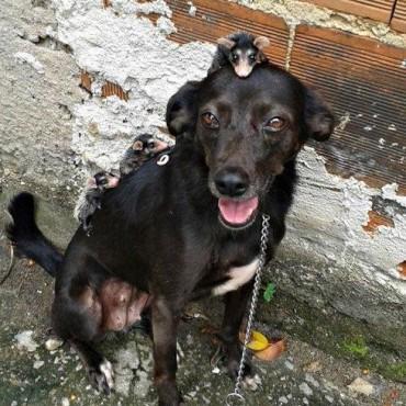 Instinto maternal: esta perra adoptó a unas zarigüeyas
