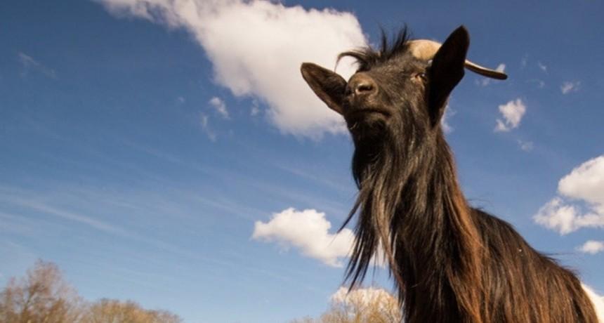 Una cabra drogadicta comienza una nueva vida