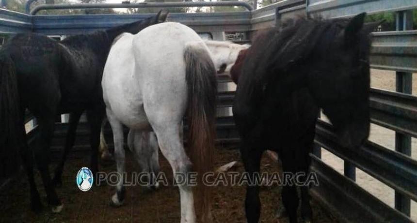 Operativos de captura de animales sueltos en Valle Viejo, Fray Mamerto Esquiú y Ambato