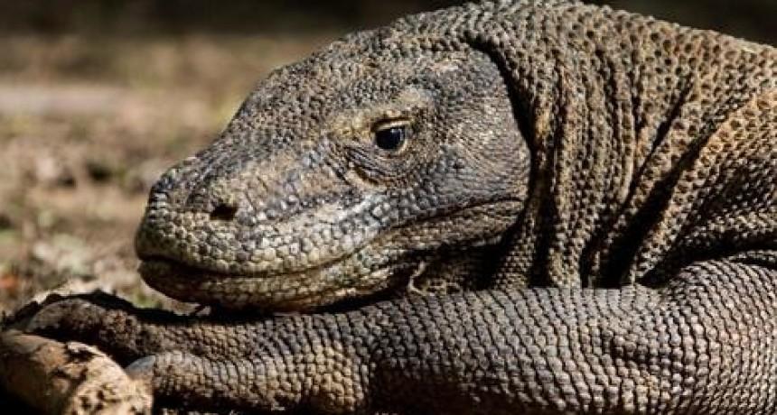 Indonesia cerrará en 2020 la isla de Komodo a los turistas por el robo de dragones