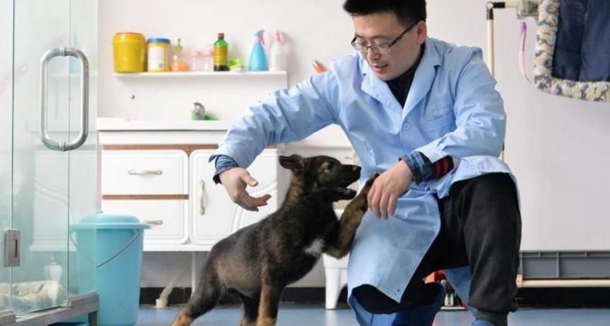 China clonó a su mejor perro policía para ahorrar dinero y tiempo en su entrenamiento
