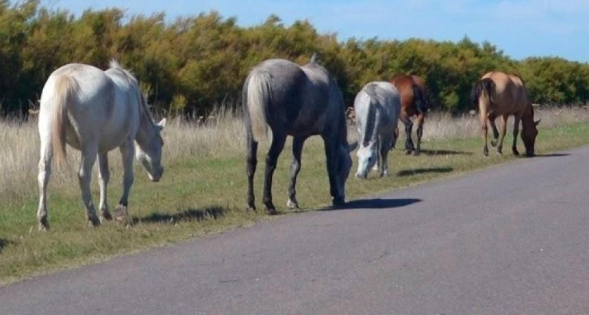 Secuestran animales sueltos en Pomán y Andalgalá