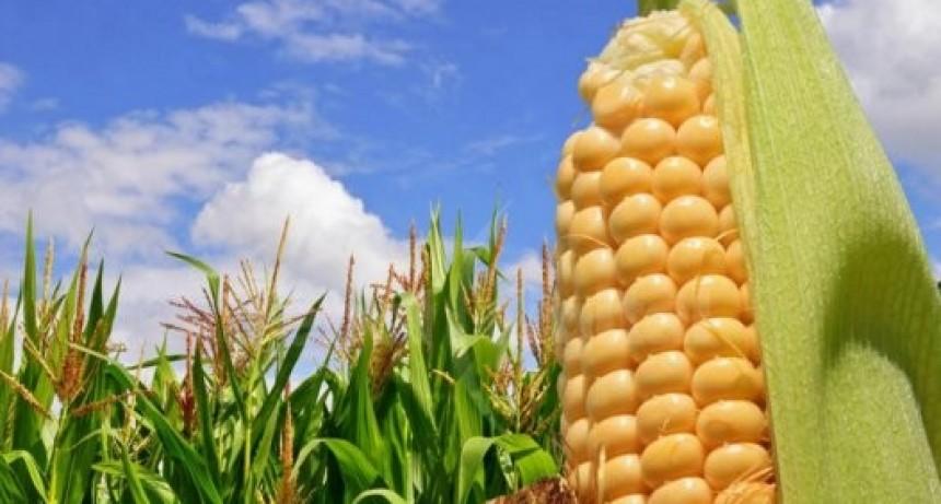 Estamos cosechando la mayor campaña de maíz de la historia