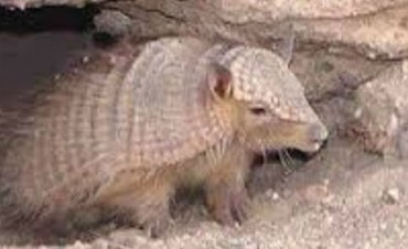 Secuestraron Quirquinchos  Especie que se Encuentra en Peligro de Extinción.