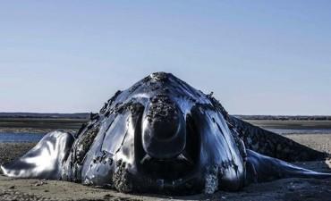 Murió la ballena franca austral que estaba varada hace ocho días en Río Negro