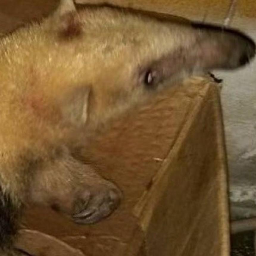 Encontró un oso melero en el patio de su casa