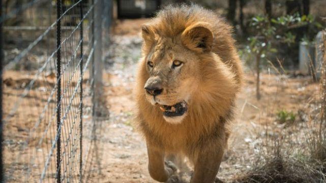 Cazaban rinocerontes y se los comieron los leones