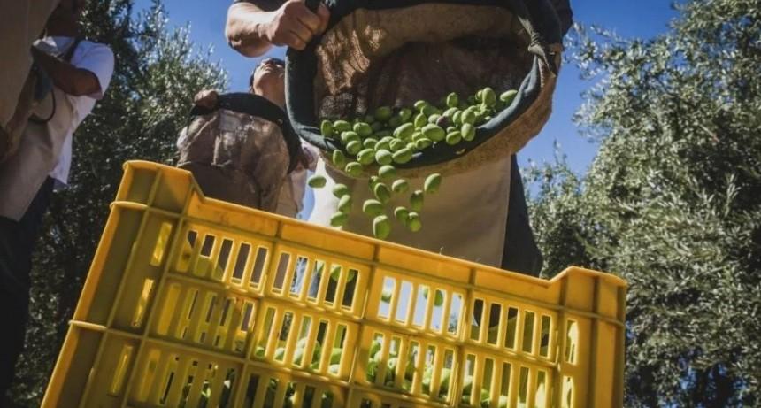 Los productores olivícolas catamarqueños, aliviados por los subsidios energéticos