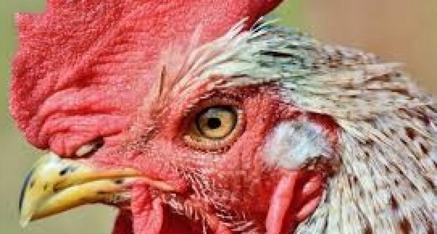 Mujer murió por los picotazos que le dio un gallo
