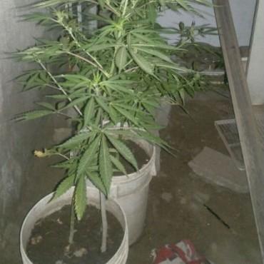 Secuestran en la zona oeste  más de diez plantas de marihuana