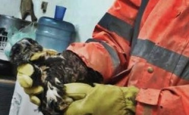 Bahía Blanca: Encontró un pichón de águila en el patio y pidió ayuda al 911