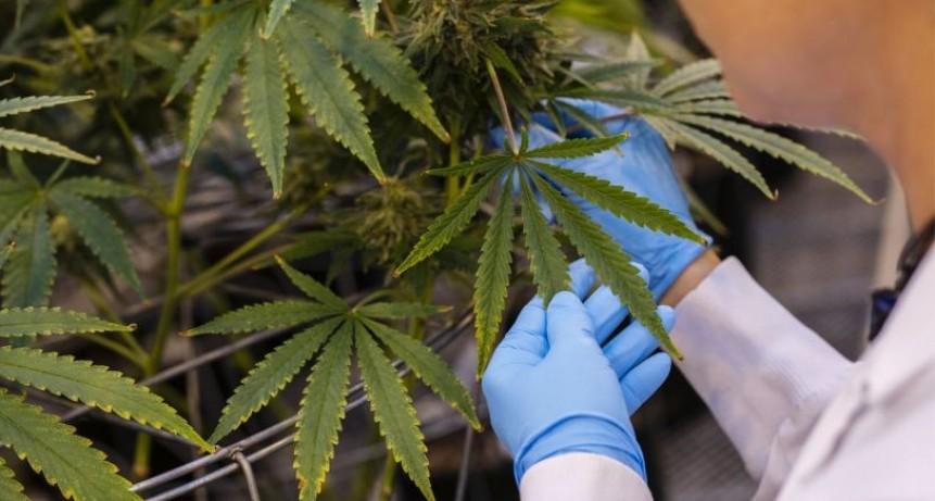 Comienzan estudios para tratar con cannabis a pacientes con epilepsia