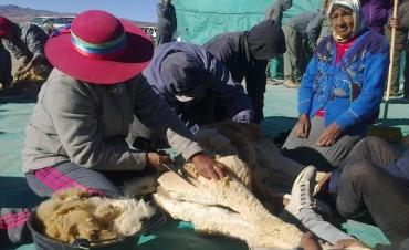 Tercera esquila comunitaria de vicuñas en Laguna Blanca - Catamarca