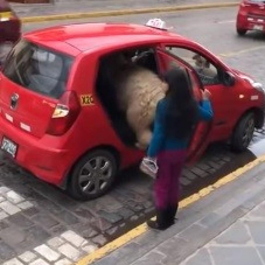 Una llama sube a un taxi y se hace viral en redes