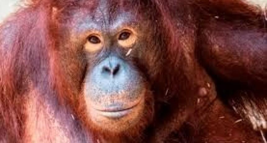 Crueldad extrema: Foto de la increíble recuperación de la orangutana prostituida en un burdel de Indonesia